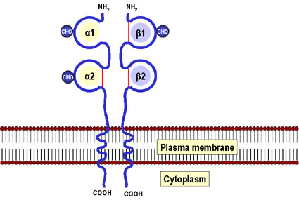 Image result for mhc class i molecules
