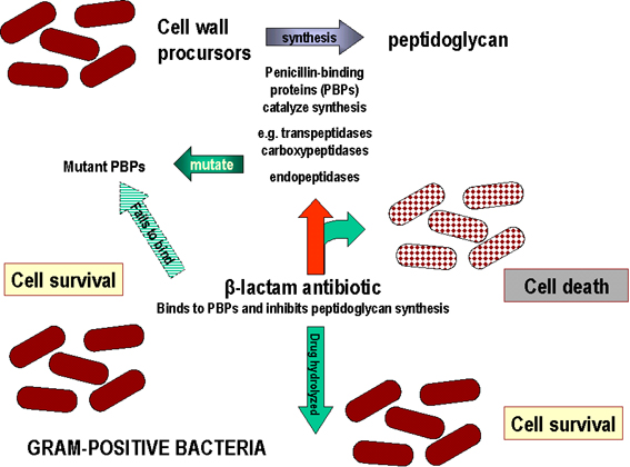 gram positive bacteria antibiotic resistance Gram-positive bacteria to include methicillin-resistant staphylococcus aureus (mrsa), methicillin-susceptible staphylococcus aureus (mssa), and enterococci, to include vancomycin-resistant enterococci (vre), display a remarkable array of resistance and virulence factors, which have contributed to their prominent role in infections of the critically ill.