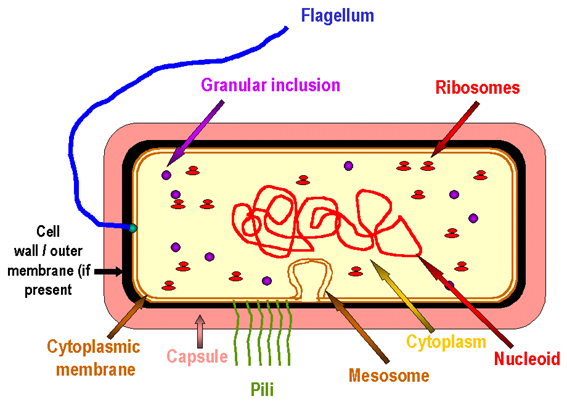سلول باکتری The Prototype Bacterial Cell
