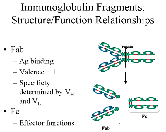 Immunoglobulins Structure And Function