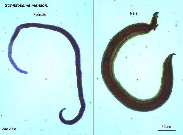 Schistosoma japonicum male